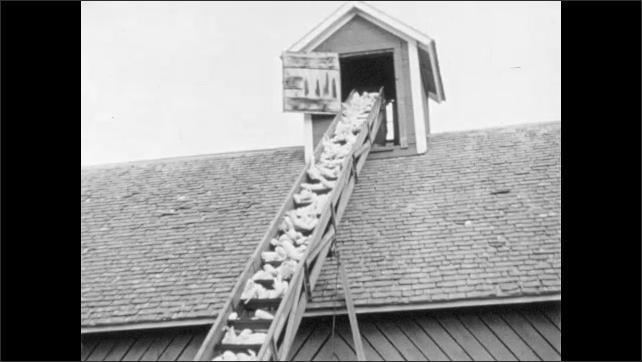1960s: Farmer uses conveyor belt to fill corn crib.  Man walks through harvested field.