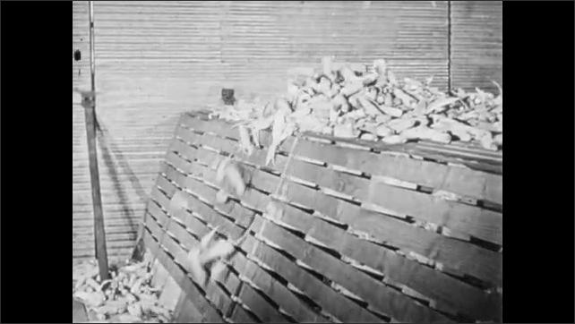 1960s: UNITED STATES: farmer loads corn onto elevator. Corn falls into tunnel.