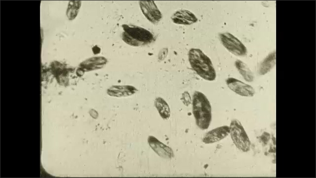 1930s: title card about how Pasteur decides bacteria causes fermentation. oval shaped microscopic organisms swim around and bounce in solution. words about wines in France turning sour.