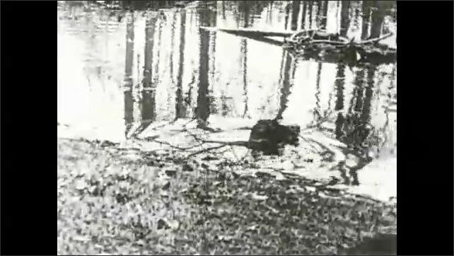 1930s: Beavers drag sticks into water.