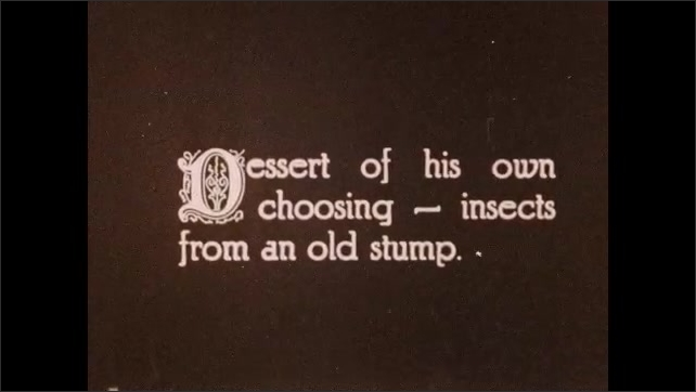 """1930s: Bird eats.  Caption reads """"Dessert of his own choosing - insects from an old stump."""""""