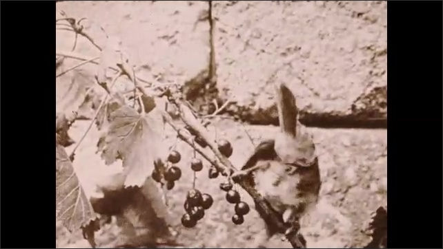 1930s: Bird sits on branch and eats berries.  Bird flies away.