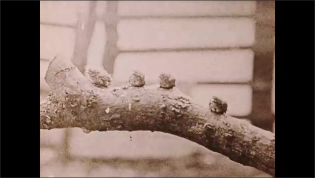 1930s: Baby birds stand on branch.  Mother feeds babies.