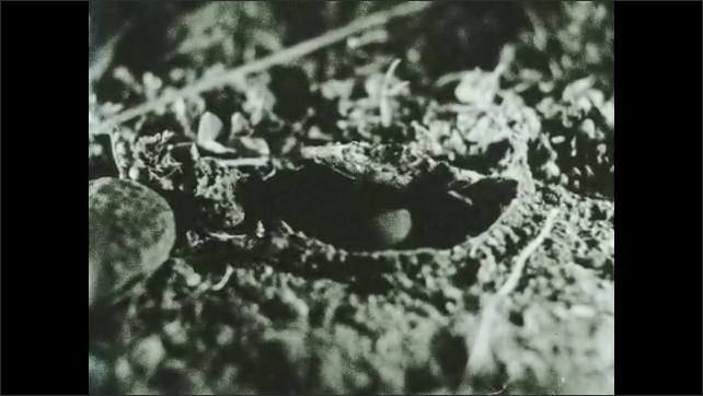 1930s: Spider abdomen sticks out of nest in ground.