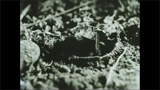 1930s: Spider rubs abdomen around nest. Spider looks out of nest.