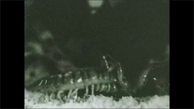 1930s: Views of centipede attacking insect.