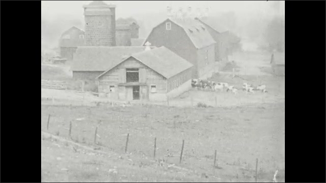 1930s: UNITED STATES: side profile of bull with horns. Bull looks at camera. Child follows herd of cows down lane. Cows by barn. Cows walk to milking station. Cows walk in woods. Men walk with cows