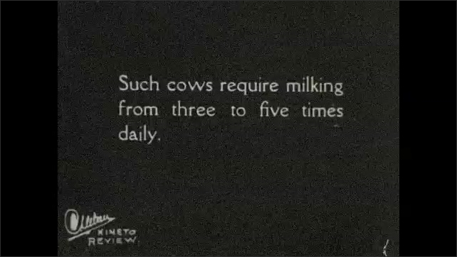 1930s: UNITED STATES: rationing of food for cows. Man weighs out cow feed on outdoor scales. Men carry buckets in milking parlour. Workers milk cows in stanchions. Cows flick tails in parlour.