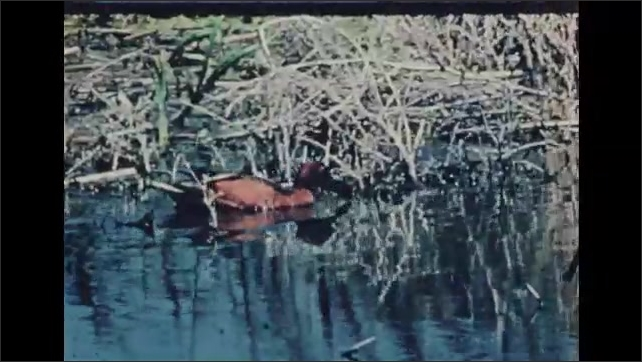 1930s: UNITED STATES: duck walks through reeds. Duck looks for food in water. Courting in ducks