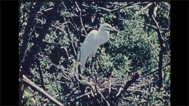 1930s: UNITED STATES: Magpie steals Egret eggs from nest. Egret arrives at nest. Egret sits.