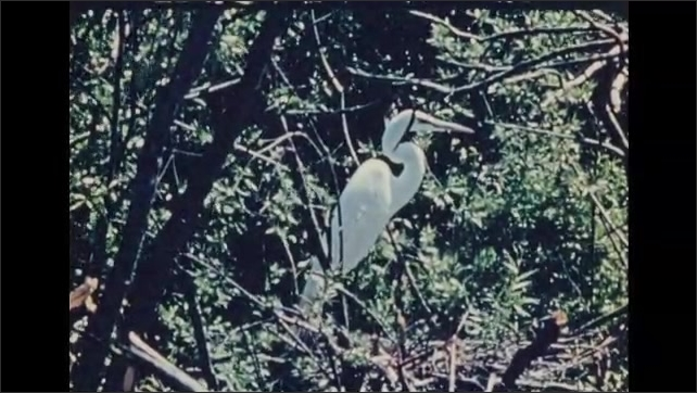 1930s: UNITED STATES: Egret sits on nest in tree.