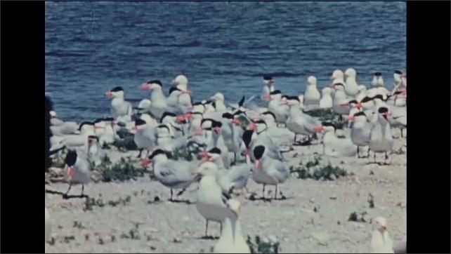 1930s: UNITED STATES: Caspian Terns nest with California Gulls. Gull eggs in nest.  Birds on lake shore. Gulls and terns on beach