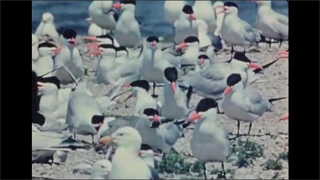1930s: UNITED STATES: Birds nest together on beach. Gulls and Terns.