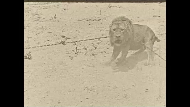 1930s: A man waves from the wing of a biplane. A lion struggles, bound by a chain on the ground. As it struggles, an attached anchor digs deeper into the sand.