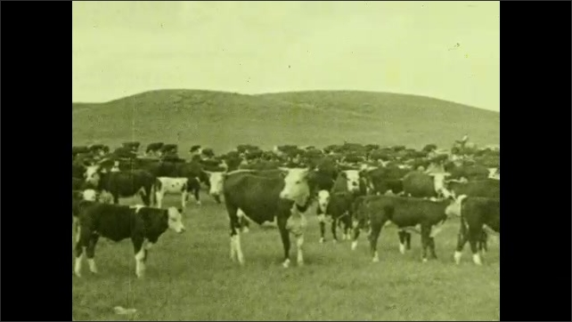 1930s: UNITED STATES: cows look at camera. Herd of cows in valley. Cows stand still.