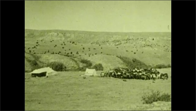 1930s: UNITED STATES: cattle gather around tent in field. Herd of cows. Cowboys campsite