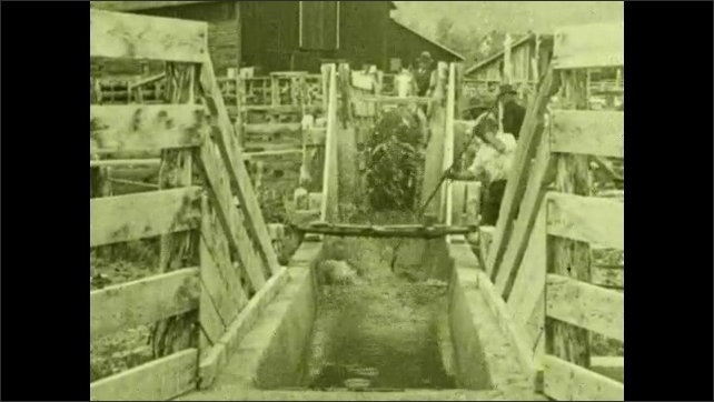 1930s: UNITED STATES: men sort cattle into pens. Cows walk through dip. Man dunks cows in dip.