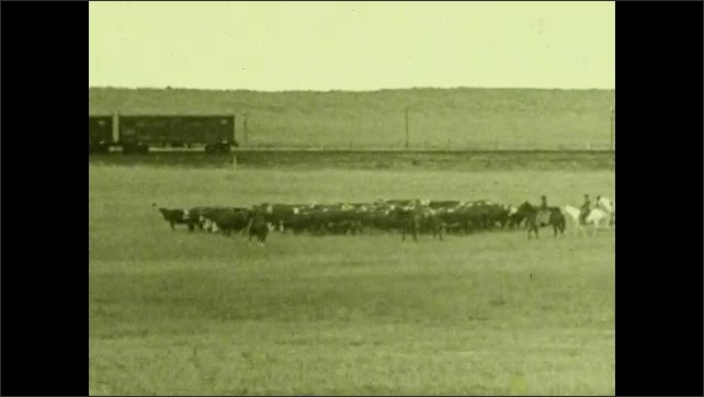1930s: UNITED STATES: cowboys on horses lead cattle across land. Herd of cows in field. Trains on railroad.