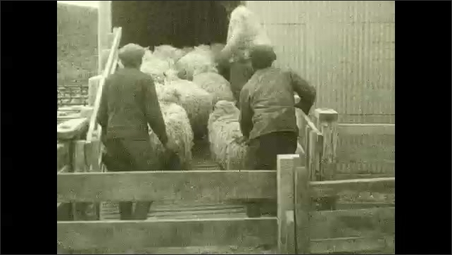 1930s: CHILE: sheep in pen. Men with sheep. Sheep shearing. Men shear cheep. North Chile. Map of Chile.