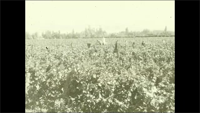 1930s: CHILE: cattle in field. Vineyards. Man walks though field.