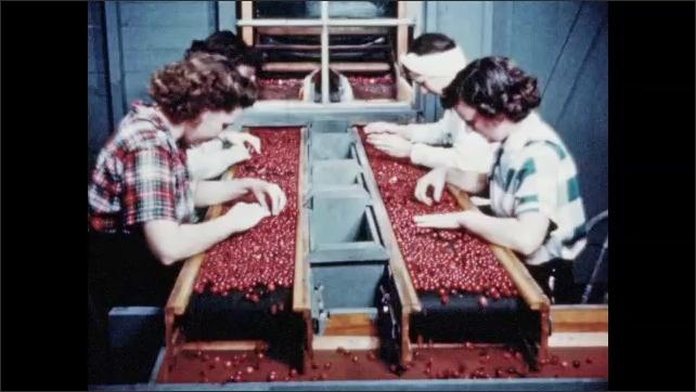 1950s: Cranberries bounce through the evaporator. Women hunch over conveyor sorting cranberries.