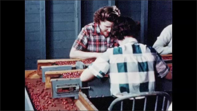 1950s: Room of women grading cranberries from conveyor belt.