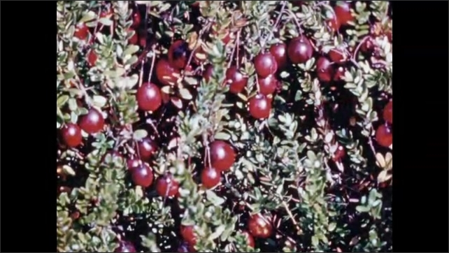 1950s: Woman ladles cranberry sauce on to vanilla ice cream to make sundaes. Cranberries growing on low bush.