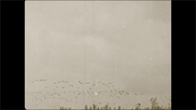 1930s: Flock of geese fly over lake and wetlands.