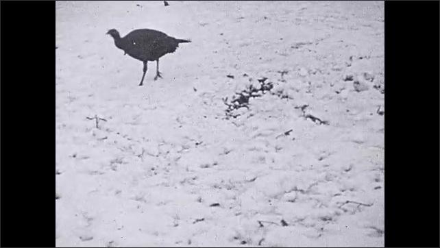 1930s: Intertitle. Man blows on whistle. Turkeys walk through snow. Man and woman behind bush. Turkey walking in snow. Woman stands, points gun.