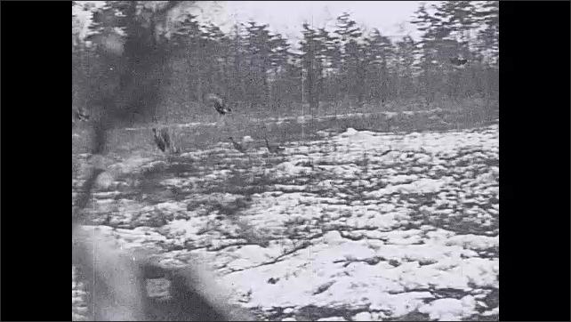 1930s: Horses pull sleigh in forest. Intertitle. Turkeys running in field, fly away. Men hide in bushes.