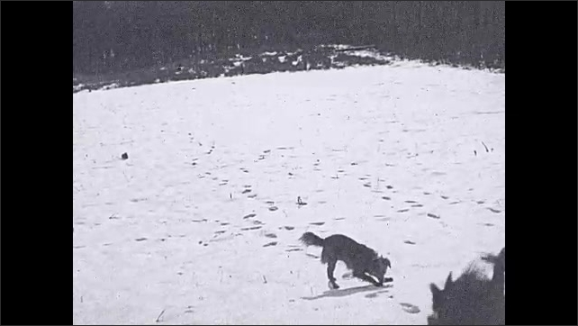 1930s: Intertitle. Man carries dead turkey, dog following. Intertitle. Horses pull sleigh in forest.