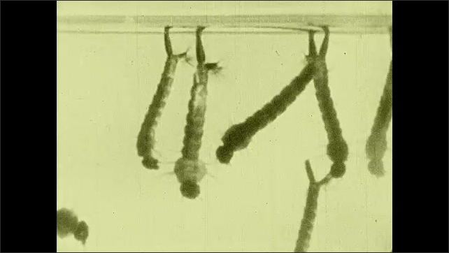 1930s: UNITED STATES: mosquito larvae close up. Stagnant water of Campagna. Mosquito larvae breathe through tails.