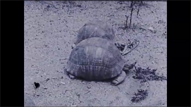 1930s: Turtle walks slowly across ground. Two turtles sit side by side on ground, eating plants. Person sets down turtle with mouth open.