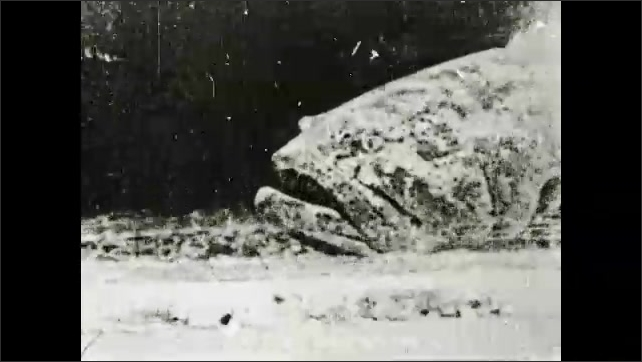 1930s: Large Jew fish swims along bottom of saltwater aquarium.