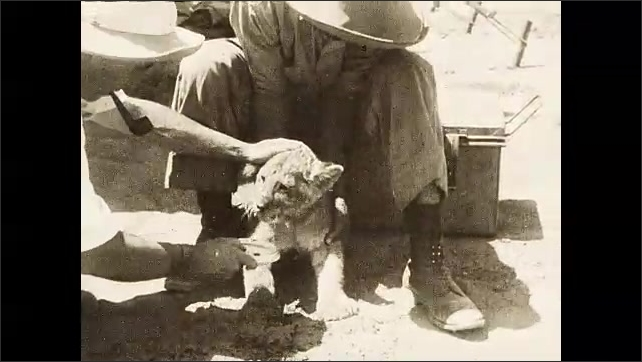 1930s: Lion sub sits alone in field. Two men approach cub and pick it up. Two men feed lion cub dish of liquid.
