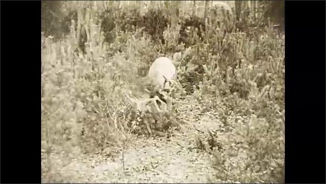 1930s: Elk rubs its large antlers against brush.