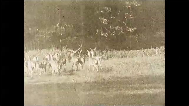 1930s: Large, male elk walks across field. Herd of elk follow along with him.