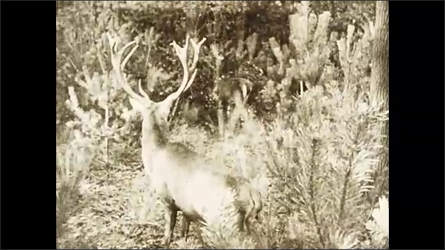 1930s: Elk stands in the bushes looking for signs of danger as two fawn forage in the background.