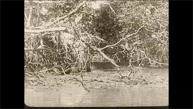 1930s: Alligators swim through swamp water below overhanging trees.
