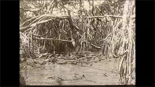 1930s: Man stands on edge of swamp where group of alligators are gathered and uses rope to lasso an alligator. He then begins pulling the alligator out of the swamp.