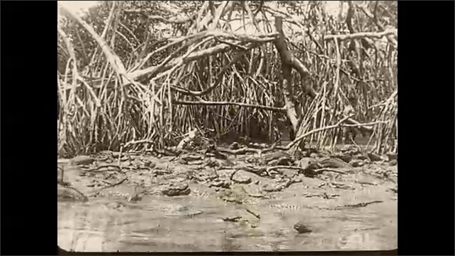 1930s: Title card. Alligators are gathered in shallow water of swamp.