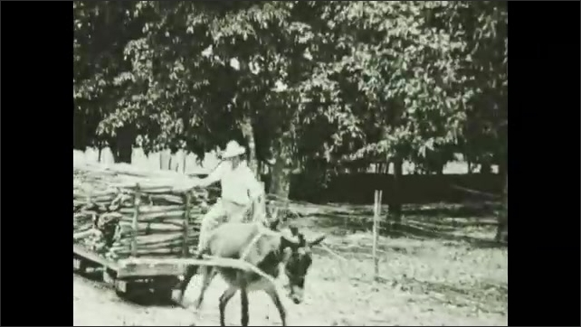 1930s: Workers gather harvested agave leaves. Donket pulls cart loaded with leaves. Man rides on cart. Workers load bunles of leaves onto machine.