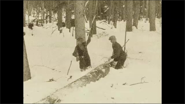 1920s: UNITED STATES: men chop branches off fallen tree. Men saw tree in forest. Men work in snow