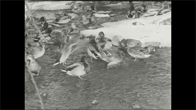 "1930s: Title card reads, ""More than five hundred wild Mallards are raised each year for release in migration studies and re-stocking experiments."" Mallards swim around icy pond."