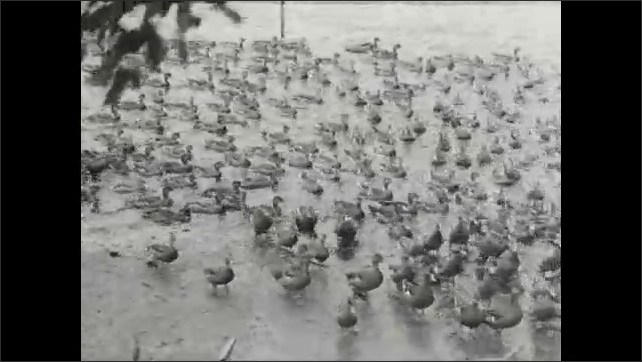 1930s: Mallards swim around icy pond and flock downstream to fly out of water.