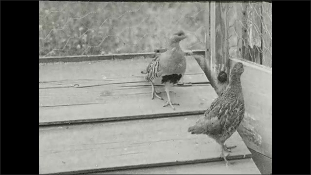 1930s: Two birds walk up and down pitched roof.