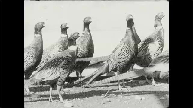 """1930s: Title card reads, """"The cock birds are held for release after the pheasant hunting season."""" Pheasants flock together."""