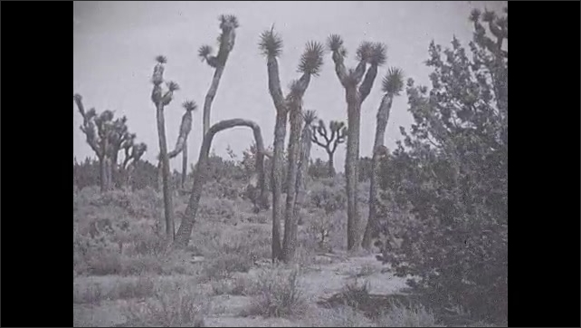 """1930s: Tall, crooked, gnarled Joshua trees, with tufts of spiky leaves at the tips, stand in front of scrubby desert landscape. """"Nightmare effect even in broad daylight."""""""