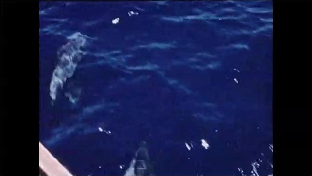 1950s: Water, setting sun. Porpoises swim through water, surface, jump.