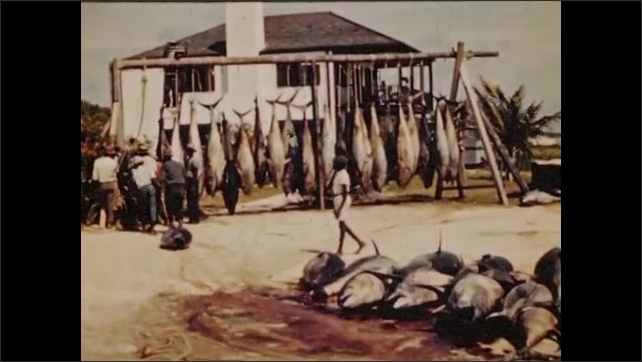 1950s: Dock, men stand next to fish hanging from scales, hold fins. Pile of fish, men drag fish, blood smears across ground. Men stand next to fish hanging from rack, point, talk.